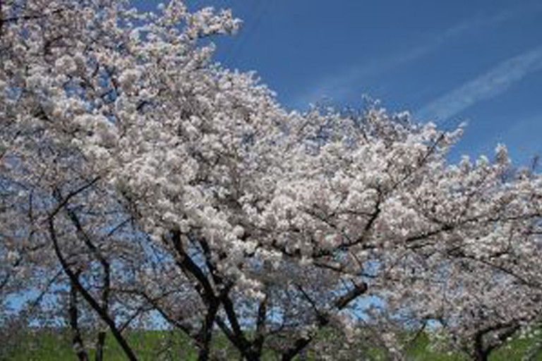 もりぐち桜まつり