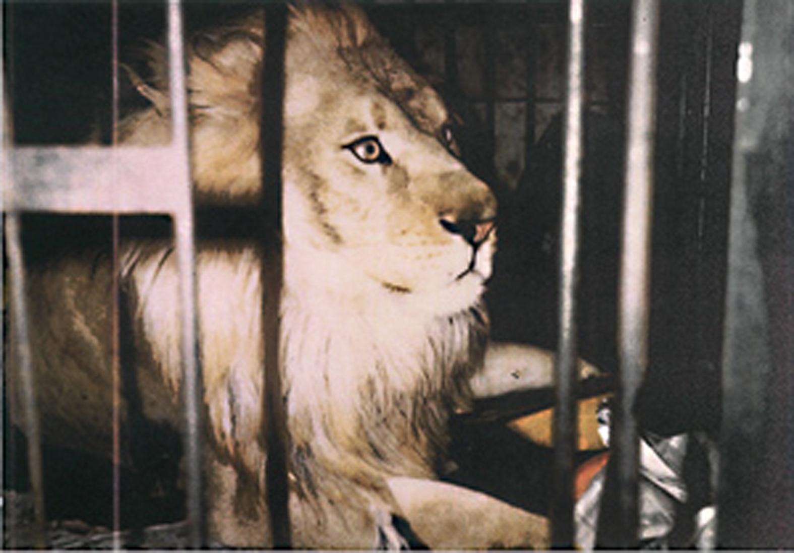 2906_lion_300